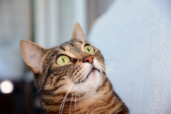 A brown tabby cat looking surprised and shocked.