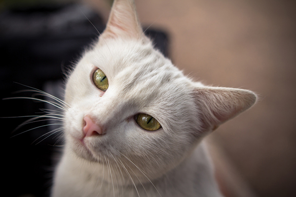 A cream colored tabby cat, looking up.