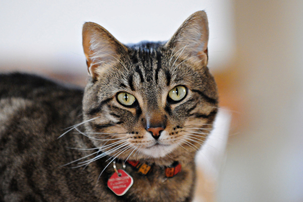 A tabby cat with an ID collar on.
