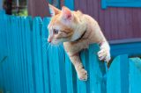 An orange cat hanging over a fence.