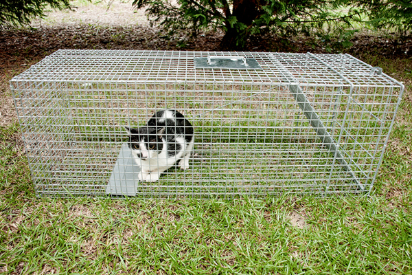 Part of TNR involves the pain-free experience of trapping feral cats in humane traps.
