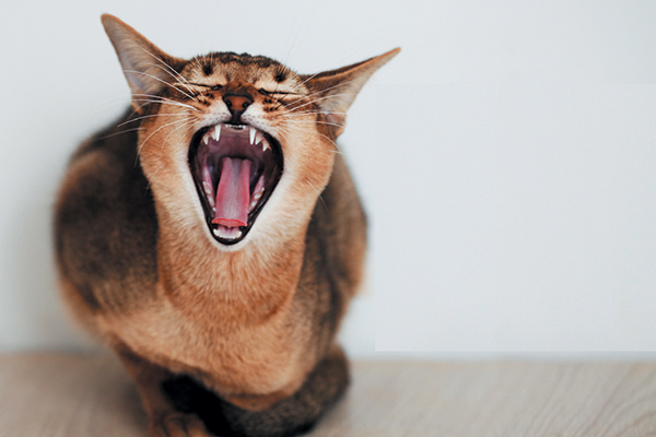 Cat with mouth open and ears back, maybe yawning.