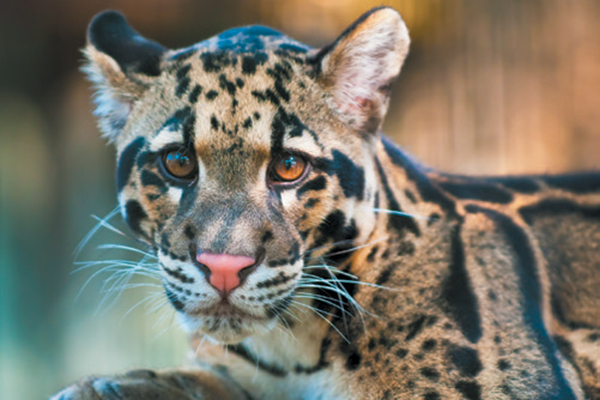 A clouded leopard.