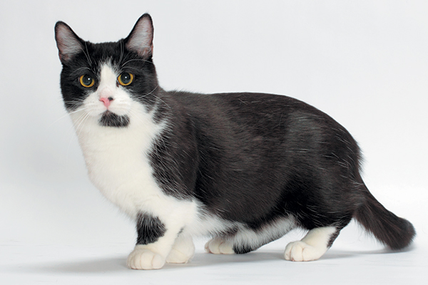 A black and white Munchkin cat.