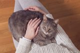 A big gray cat sitting in a human's lap.