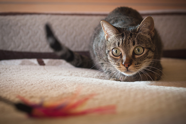 A cat playing or hunting with a feather toy.