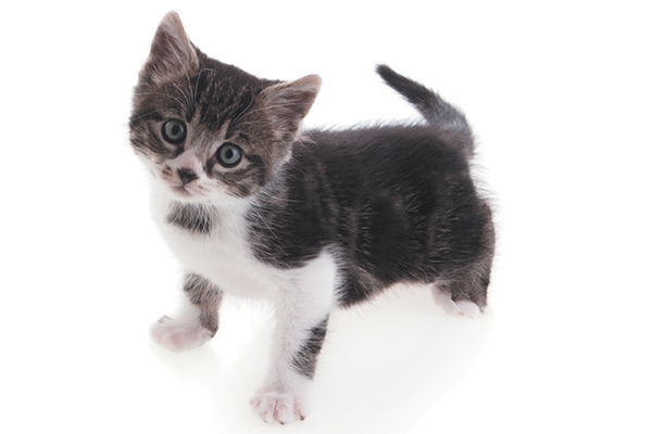 A cute gray and white kitten.