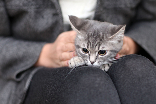 A gray kitten sitting in a human's lap.