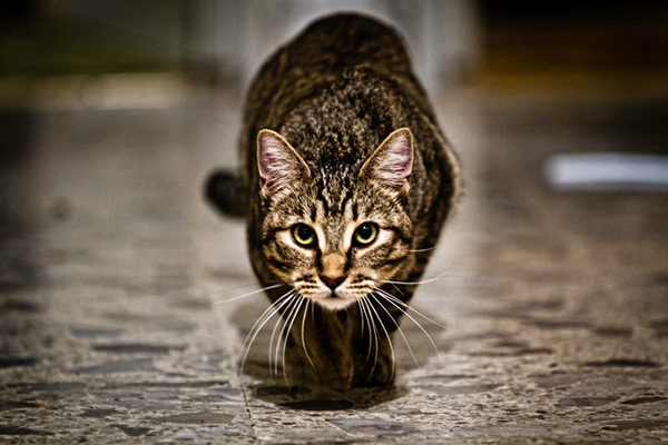 A tabby cat stalking and about to pounce.