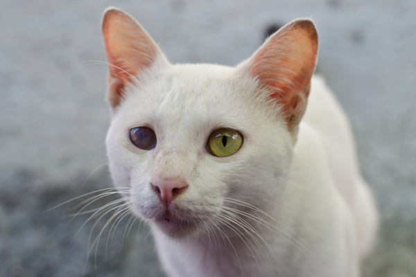 Let S Discuss Cataracts In Cats Catster