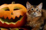 Halloween kitten with a jack o lantern pumpk