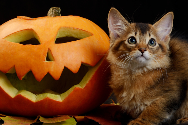 Halloween kitten with a jack o lantern pumpk
