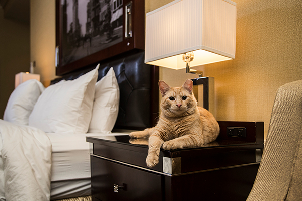 Hamlet, the new Algonquin Hotel cat.