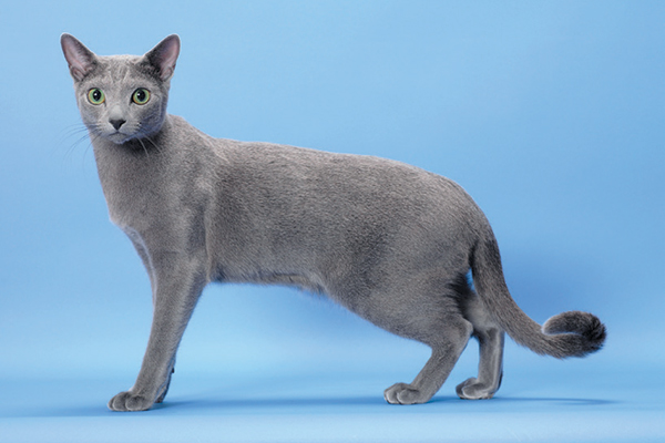 9 Reasons We Love the Russian Blue Cat - Catster