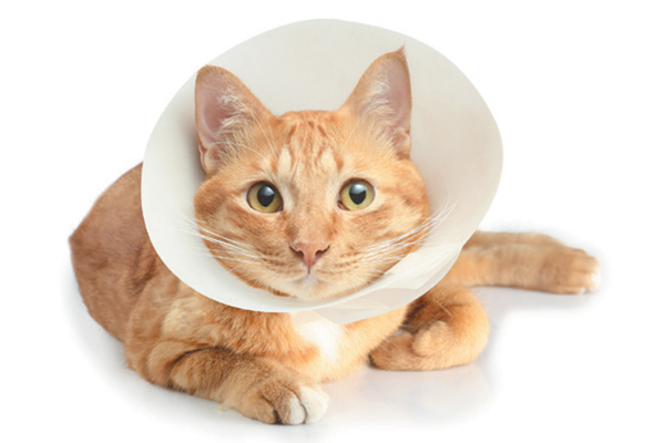 E-Collars for cats, traditional Elizabethan collar.