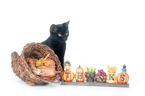A black cat with Thanksgiving decorations.