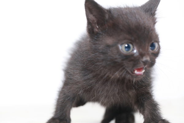 A scared black kitten meowing.