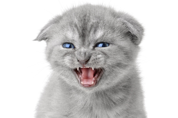 A gray kitten growling or hissing with his ears back.
