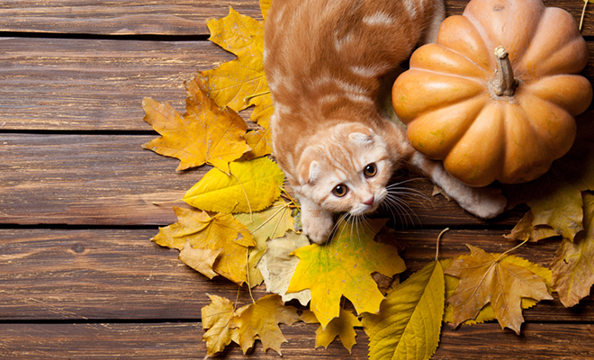 An orange cat with colorful fall leaves and an autumn pumpkin.