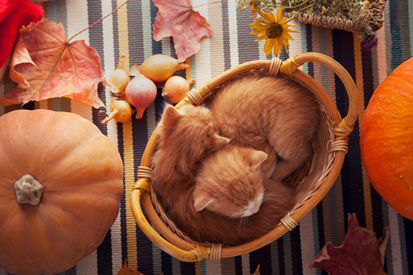 Orange tabby cats with Thanksgiving fall decor.