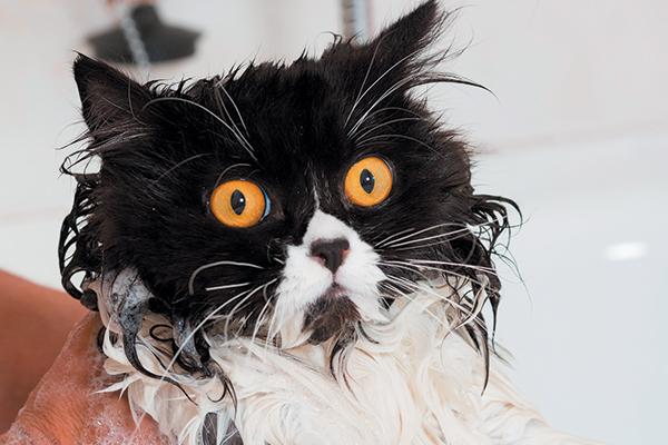 Should You Bathe A Cat With Fleas