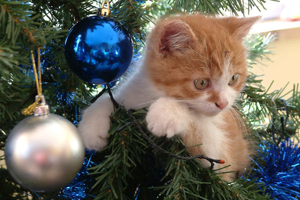 A ginger cat climbing a Christmas tree.