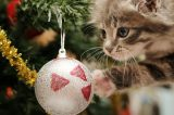 A kitten playing with a glass ornament on a Christmas tree.