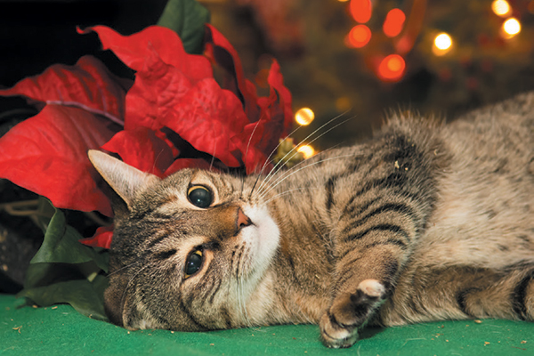 A cat with poinsettias.