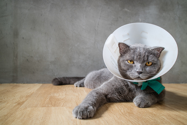 A grumpy gray cat with an e-collar on after surgery.