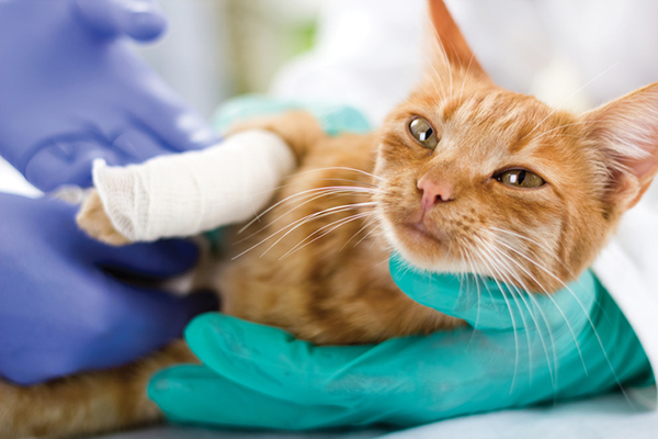An orange cat with a cast on at the vet