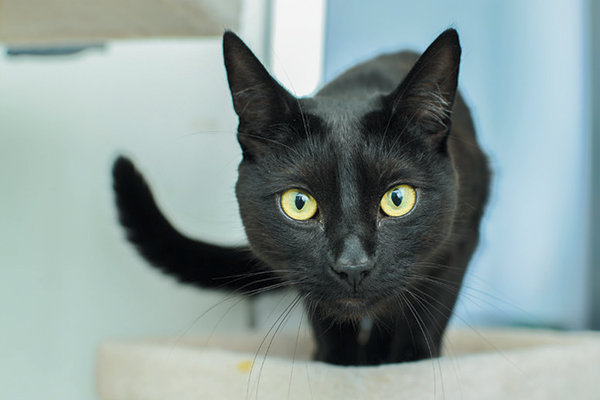 A black cat with a swaying tail.