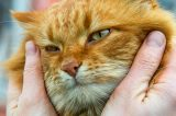 A sad orange ginger cat being held by a human.