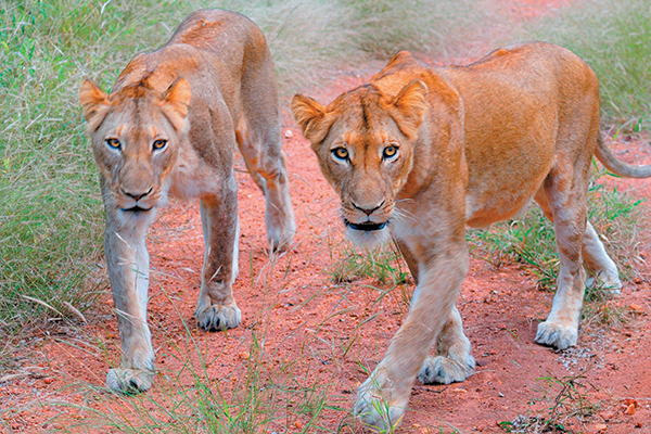 Lions in the wild.