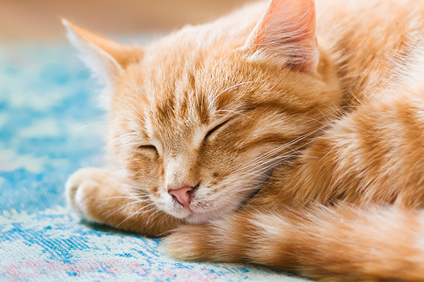 The Orange Tabby Cat \u2014 8 Fun Facts , Catster