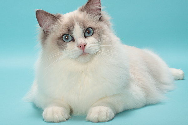 The Ragdoll Cat — All About This Fascinating Cat Breed - Catster