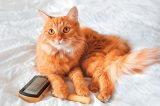 A ginger cat with a hairbrush.