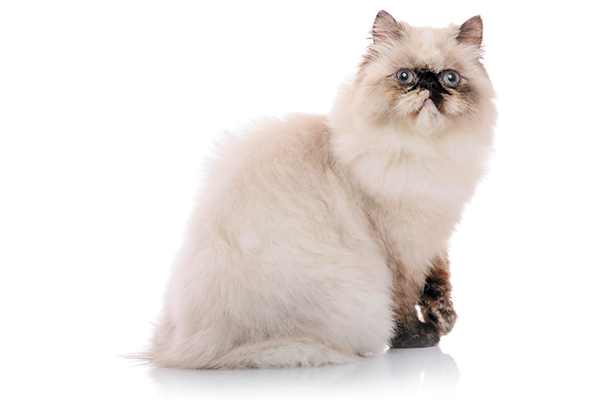Himalayans are a flat-faced cat breed.
