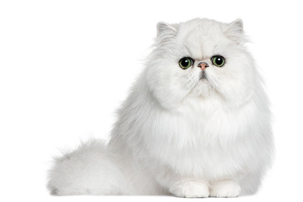 A flat-faced Persian cat.