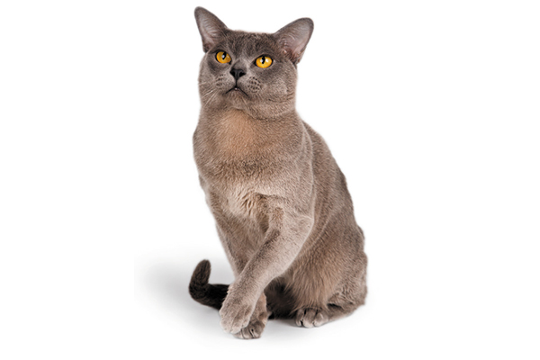 Flat-faced Burmese cat.