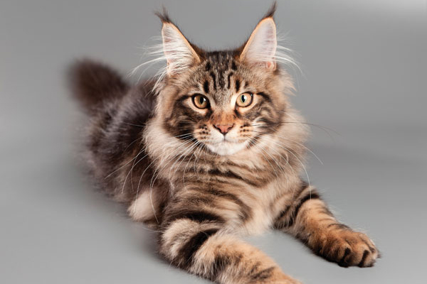 74bb20bfcd Fall in Love With These 5 Large Cat Breeds - Catster
