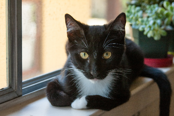 A black and white tuxedo cat on a windowsill.