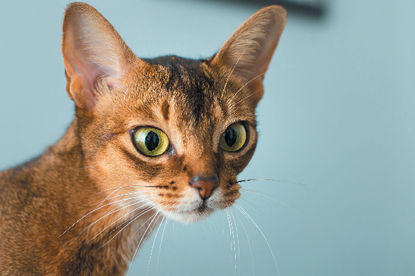 Abyssinian close up on a blue backdrop.