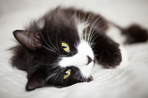 Closeup of a tuxedo cat on a bed