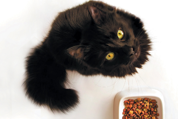 A fluffy black cat looking up from her food bowl.