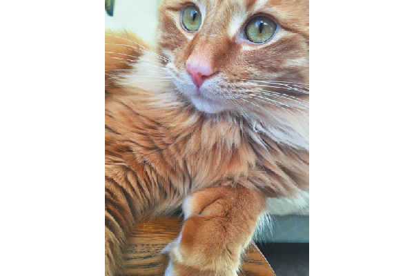 Polydactyl cat Heathcliff.