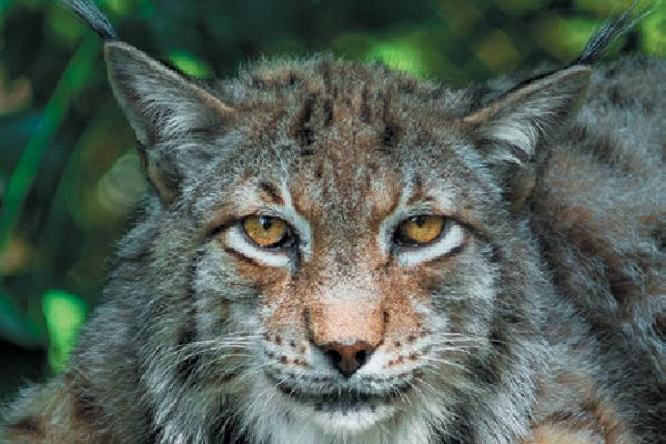 Eurasian Lynx.