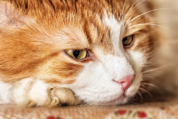 An orange tabby cat lying down, looking sick and tired.