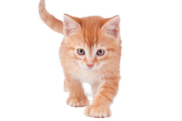 An orange tabby polydactyl cat.