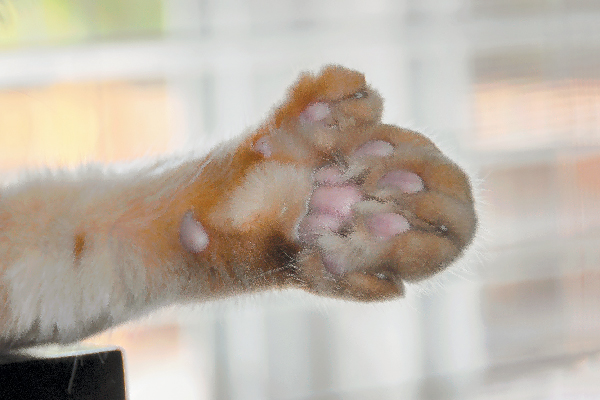 Polydactyl cat paw close up.