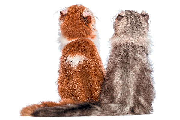 Two American Curl cats looking up.